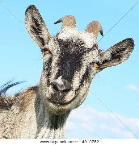 Smiling goat over blue sky background