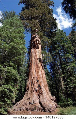 Giant sequoia tree in Sequoia National Park