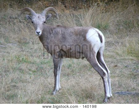 a big horn sheep in the forest poster