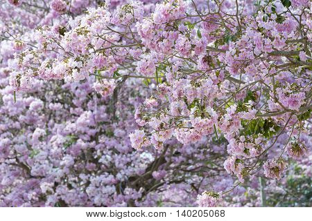 Pink Pantip flowers are blossoming. Beautiful Nature