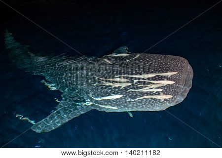 Whale Shark Close Up Underwater Portrait At Night