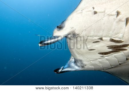 Manta In The Blue Ocean Background Portrait