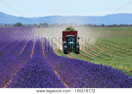 Lavender field in France during harvest time, Provence. Tractor and harvester in action