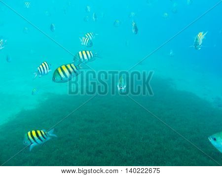 undersea world. wild Sergeant Major Fishes underwater