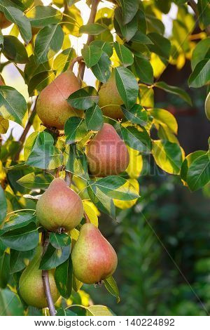 Pears on a tree branch closeup in orchard. Pear fruit on the tree in the fruit garden. Pear hanging on tree. Fruit background. Pears harvest