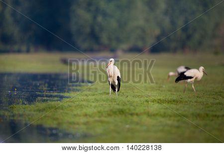 White Storks Beside Lake