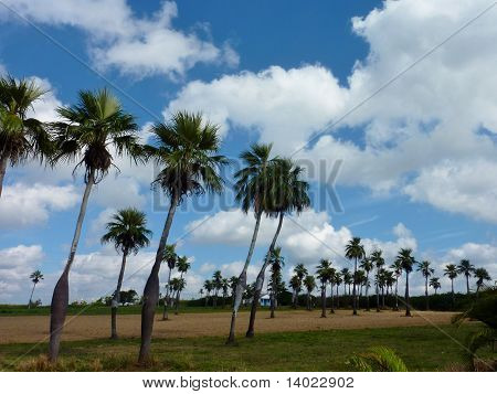 Palm trees and a blue sky with clouds