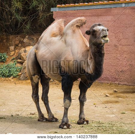 Portrait Of A Large Red Two-humped Camel