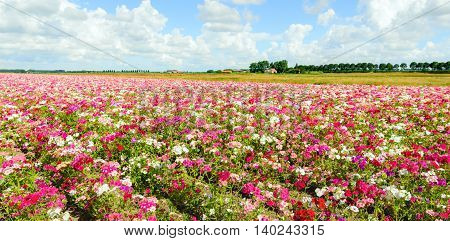 Large field with blossoming Phlox plants in a wide variety of colors at a specialized Dutch seed grower. It is a cloudy day in the mid summer season.