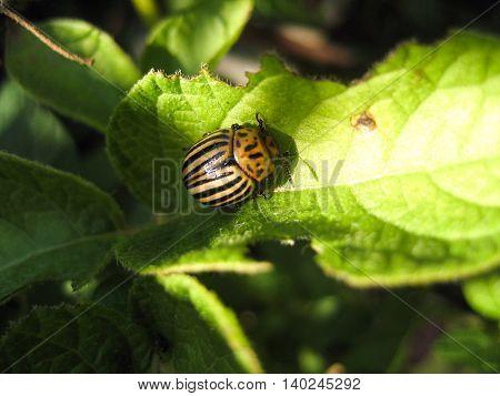 Colorado beetle on potato leaf .Colorado beetle eats a potato leaves