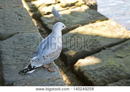 Juvenile Silver gull bird with dull legs, bill and mottled brown feathers standing near water in Sydney, Australia, Selective focus