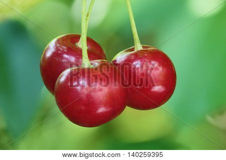 Red cherries on green background