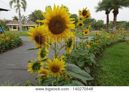 Beautiful sunflowers in the public park background