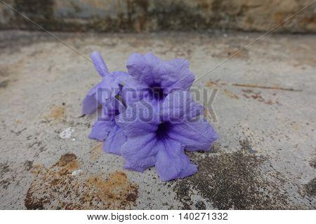 Purple flower on background cracked cement thai