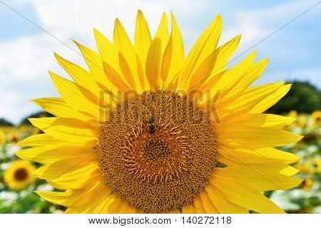 Sunflowers Blooming In Farm - Field With Blue Sky And Clouds. Beautiful Natural Colored Background.