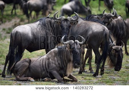 black wildebeest or white-tailed gnu (Connochaetes gnou) in Tanzania, Africa