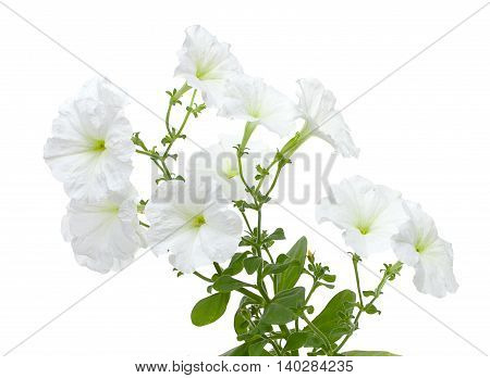 Flowers Of White  Petunia Isolated On  A White Background