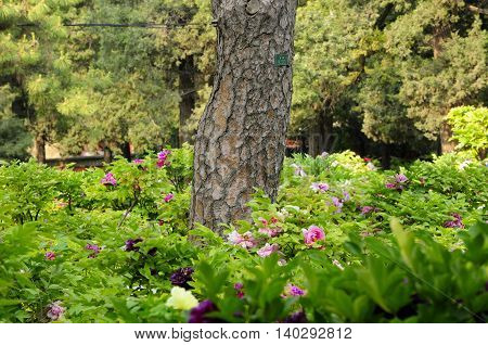 A hemlock tree surrounded by tree peonies in the gardens in Jingshan park Beijing China.
