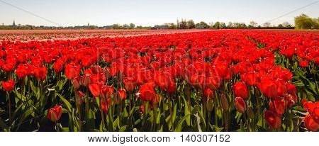 Backlit image of nearly translucent red colored tulip flowers at the field of a specialized bulb grower in the Netherlands. It is springtime now.