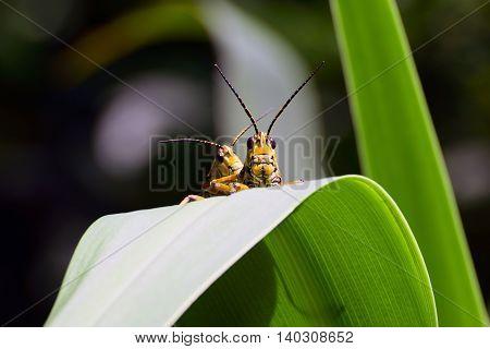 Eastern Lubber Grasshopper Spring Hill botanical garden,Florida