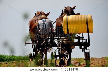 Lancaster County Pennsylvania - June 8 2015: Amish farmer working a field of young corn plants on a tiller drawn by two donkeys