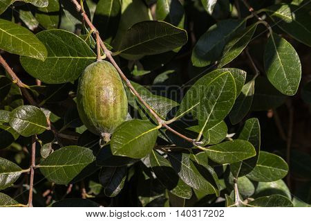 detail of feijoa fruit ripening on tree