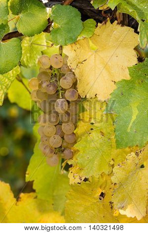 close up of ripe riesling grapes in vineyard
