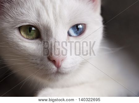 Pretty snow-white cat with different colored eyes.