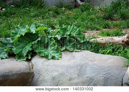 A greater burdock plant (Arctium lappa) grows above a ledge.