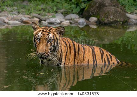 Bengal Tiger (Panthera Tigris Bengalensis) half submerged in a swamp in Sundarban National Park