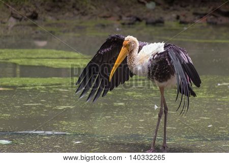 Painted Stork (Mycteria Leucocephala) stands with wings spread. India.