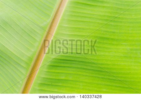 close up Green banana leaf texture background