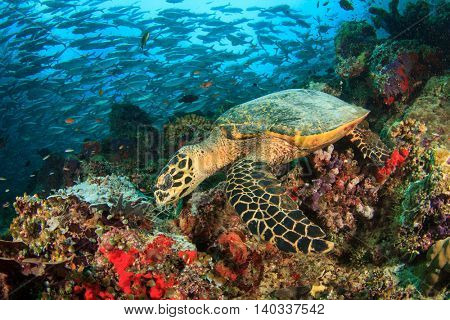 Hawksbill Turtle feeds on coral reef with school Trevally fish in background