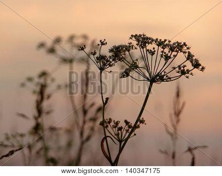 Meadow plants in sepia style. Hemlock flower.