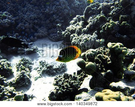 Small fish with hard colals. Coral reef on the sand bottom. Underwater paradise for scuba diving freediving. Red sea Dahab Egypt.