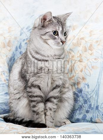 Cat, cat sitting on a sofa close up, young playful kitten on a bed, relaxing animal, elegant pet, grey young kitten