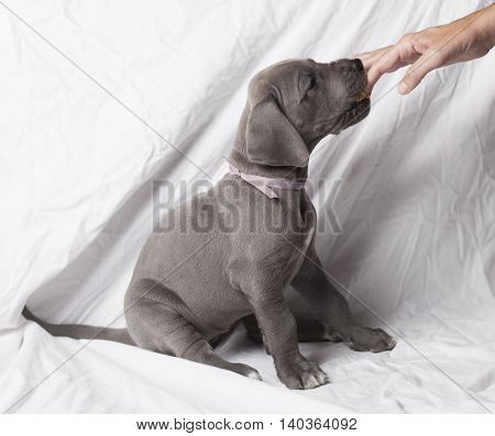 Grey Great Dane puppy licking peanut butter from the fingers of its owner