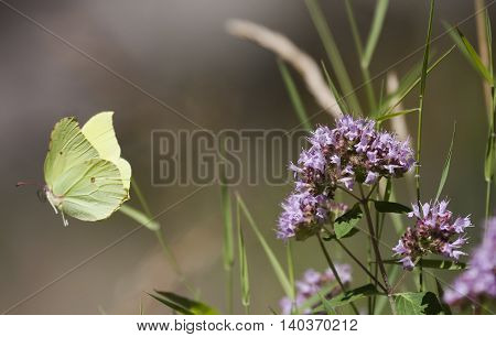 brimstone butterfly flying away from a purple flower