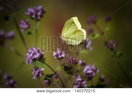 a brimstone butterfly flying amongst purple flowers