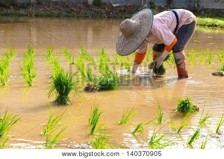 Tradition thai farmer harvesting rice paddy Working rice plantation