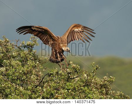 Griffon vulture (Gyps fulvus) landing in a tree in its habitat