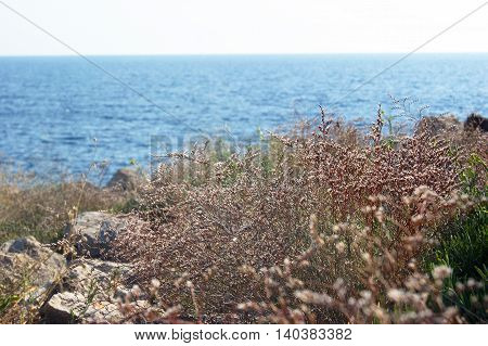 Herb on the rocky coast of the peninsula Lustica in Montenegro