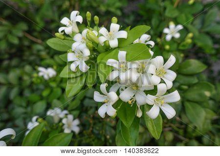 White flower Murraya paniculata or Orang Jessamin