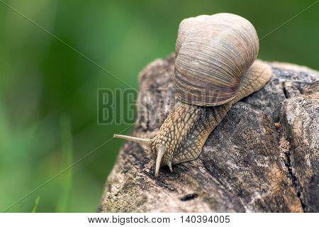 a big  brown grape snail, creeps on a long snag,