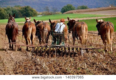 Lancaster County Pennsylvania - October 13 2015: An Amish youth with red hair plowing under a field of dried cornstalks with a team of six donkeys