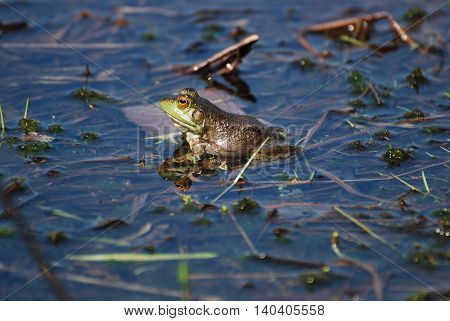 Toad reflected in the water of the marsh.