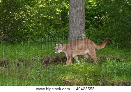 Adult Female Cougar (Puma concolor) Stalks Left - captive animal