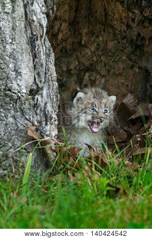 Canada Lynx (Lynx canadensis) Kitten Cries Out in Hollow Tree - captive animal