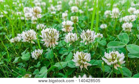 Medicinal Plant, White Clover Field.