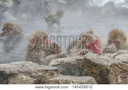 Japanese Snow Monkey Macaque In Hot Spring Onsen Jigokudan Park, Nakano, Japan